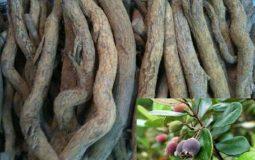 Rễ sim là vị thuốc chữa đau dạ dày quen thuộc