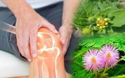 Các bài thuốc dân gian chữa bệnh viêm khớp có nhiều ưu điểm vượt trội