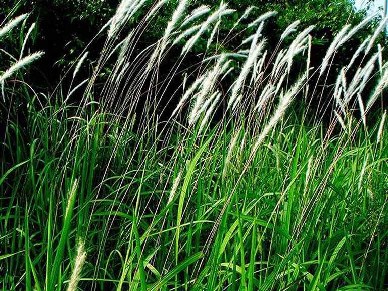 Sử dụng phần rễ của cỏ tranh để trị bệnh