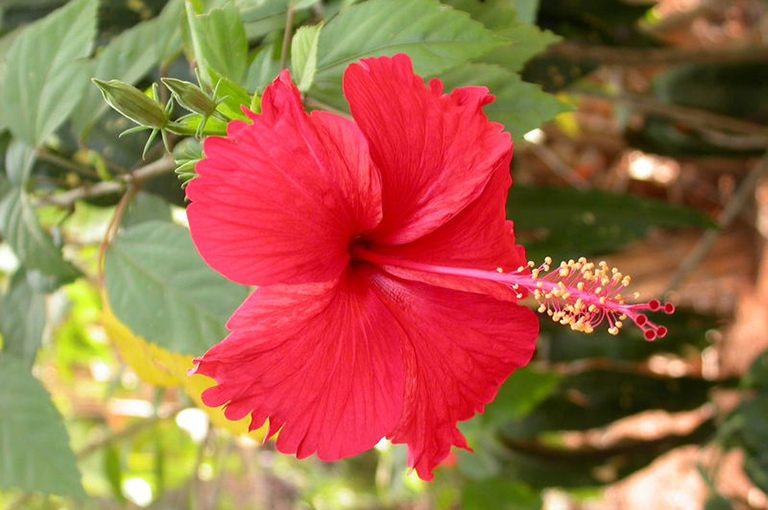 Nhiều người chưa biết bài thuốc Nam trị sỏi thận từ cây dâm bụt