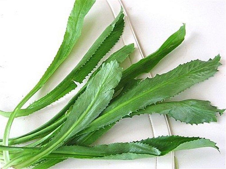 Cây mùi tàu được sử dụng phổ biến trong điều trị sỏi thận