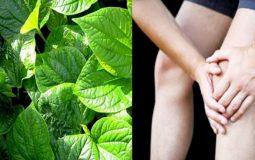 Chữa đau khớp gối bằng lá lốt: 4 cách dùng không phải ai cũng biết