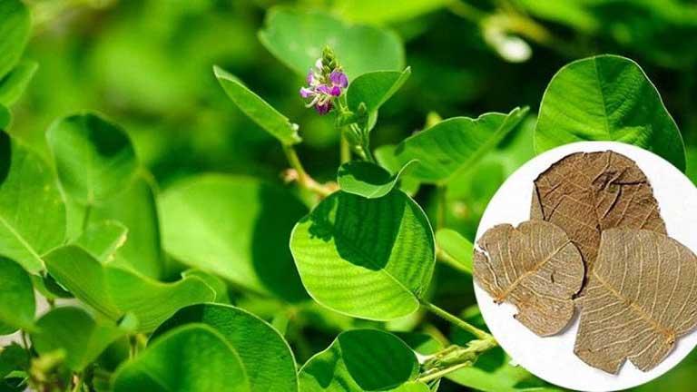 Hầu hết các bộ phận của cây thuốc đều được sử dụng làm thuốc chữa bệnh
