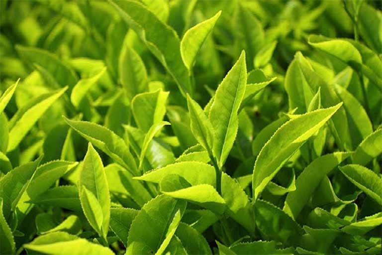 Lá trà xanh có tính kháng khuẩn và rất tốt cho người bệnh mắc viêm đường tiết niệu
