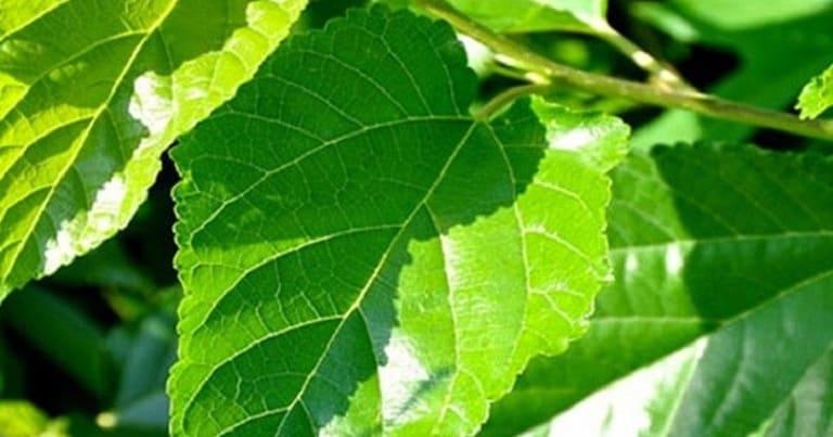 Dùng lá dâu tằm đun nước rửa mặt làm giảm viêm nhiễm, dầu nhờn