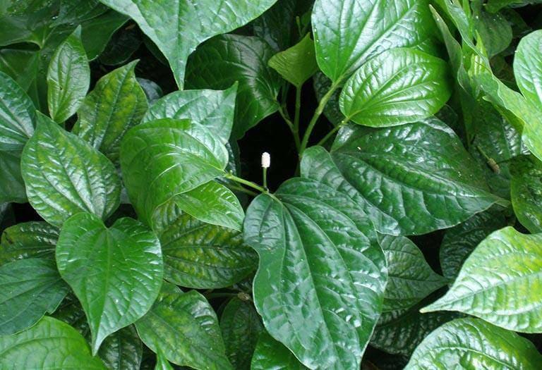 Không chỉ là một loại gia vị quen thuộc trong bữa ăn hàng ngày, lá lốt còn có tác dụng chữa bệnh viêm da dị ứng ở nách