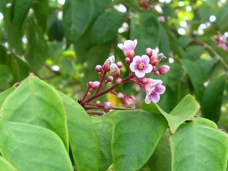Khế không chỉ là một loại cây ăn quả quen thuộc mà lá cây còn được sử dụng để chữa bệnh ngoài da ở trẻ nhỏ