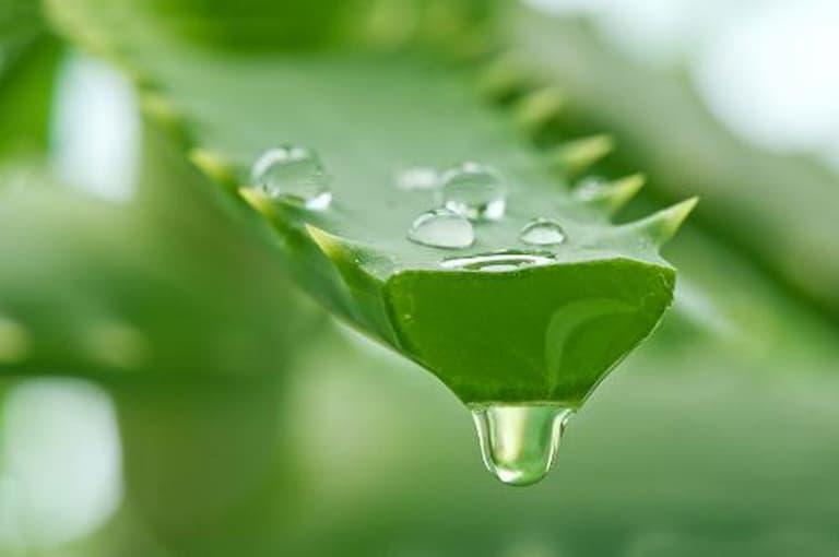 Nha đam là vị thuốc chứa nhiều hoạt chất chống viêm tốt cho bệnh nhân thoát vị đĩa đệm