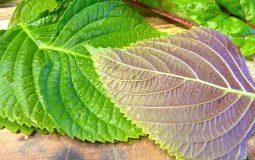 8 bài thuốc chữa viêm amidan bằng lá tía tô hiệu quả tức khắc