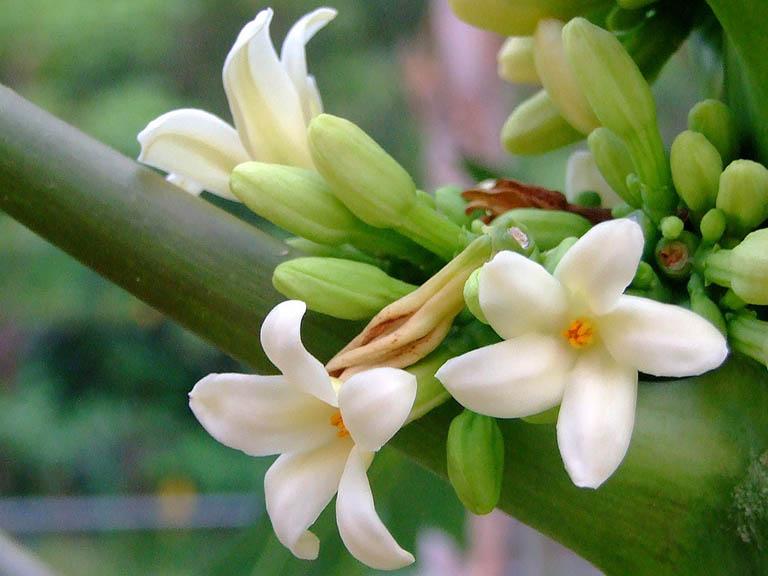 Hoa đu đủ là thành phần quan trọng của bài thuốc